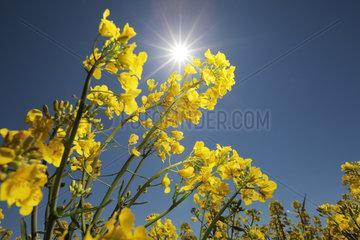 Handewitt  Deutschland  Rapspflanzen bei strahlender Sonne