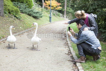 Couple in park photographing pair of mute swans walking along path