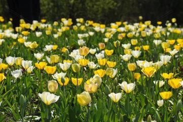 Noderstedt  Deutschland  Tulpen