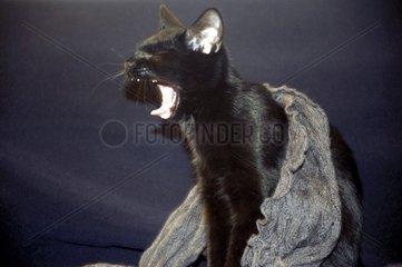 Katze gaehnt