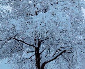 Schnee Baum