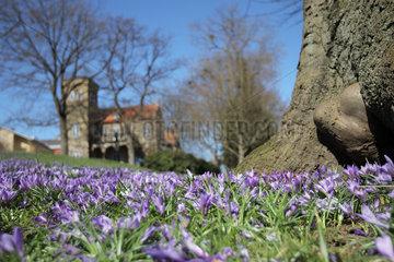 Flensburg  Deutschland  Krokusblueten im Lutherpark