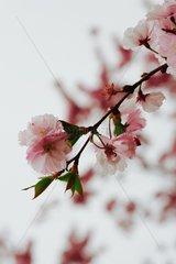 Kirschblueten Serie