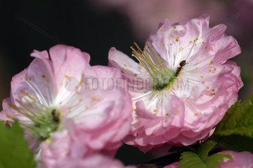 Leipzig  rosa Blueten