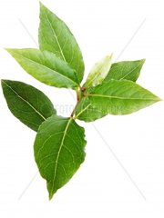 sweet bay laurel  bay tree  sweet bay Laurus nobilis  leaves