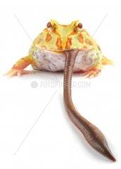 Schmuckhornfrosch  Schmuck-Hornfrosch Ceratophrys ornata  verschlingt einen Regenwurm
