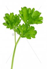 garden parsley Petroselinum crispum  single leaf