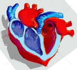 Medizin Herz Querschnitt