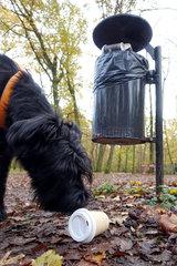 Berlin  Deutschland  Riesenschnauzer schnueffelt an einem leeren Kaffeebecher im Wald