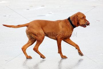 Berlin  Deutschland  Kurzhaariger Ungarischer Vorstehhund (Magyar Vizsla) apportiert einen Ast