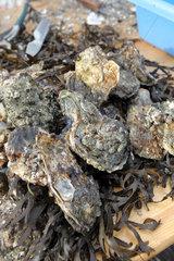 Harrislee  Deutschland  frische Austern
