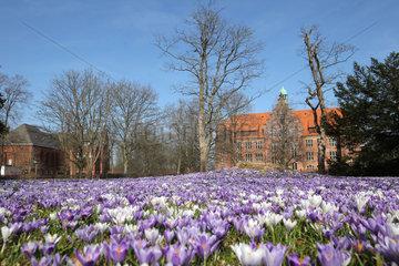 Flensburg  Deutschland  bluehende Krokusse vor dem Sauermannhaus