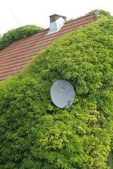Friedrichskoog  Deutschland  Fassadenbegruenung in der Rotdornallee in Friedrichskoog