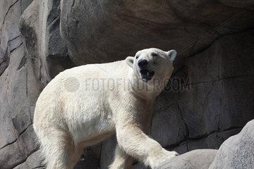 Ice Bear - Zoo Hagenbecks Tierpark Hamburg