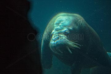 Walrus - Zoo Hagenbecks Tierpark Hamburg