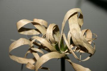 Trockene Zimmerpflanze