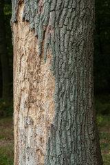 Albersdorf  Deutschland  von Borkenkaefer befallene Eiche