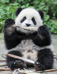 CHINA-SICHUAN-PANDA CENTER-CONSERVATION-RESTORATION (CN)
