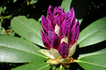 rhododendronbluete