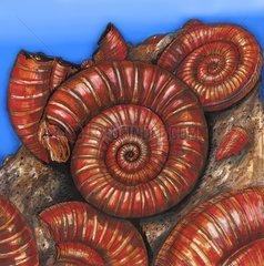 Ammoniten - Versteinerungen