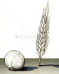 Getreide Roggen