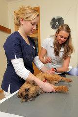 Flensburg  Deutschland  ein Border Terrier wird beim Tierarzt untersucht