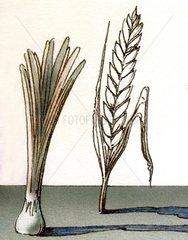 Getreide Weizen Zwiebel