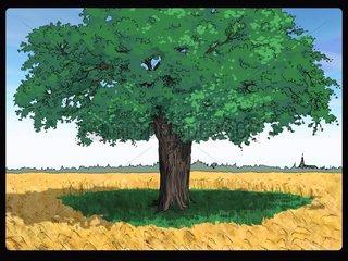 Laubbaum im Getreidefeld