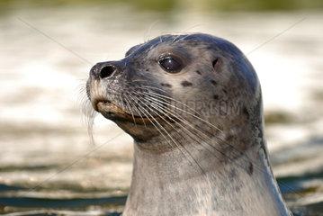 Kiel  Deutschland  ein Seehund im Becken des Forschungsinstituts GEOMAR