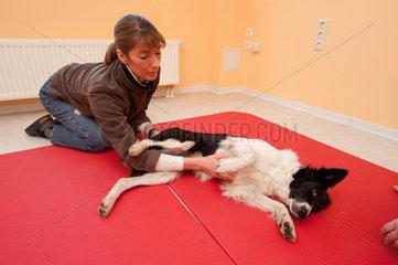 Itzehoe  Deutschland  Physiotherapeutin Bettina Eckle behandelt einen Border Collie