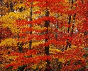Herbstwald  Virginia  USA