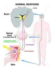 Nervenleitung - Haut - Gehirn