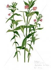 Weidenroeschen