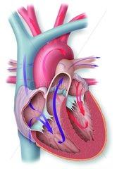 Herz Querschnitt freigestellt