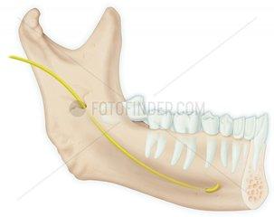 Zungen-Nerv - Lingual nerve