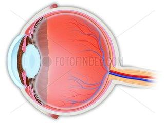 Auge Schnittbild