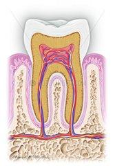 Zahnquerschnitt