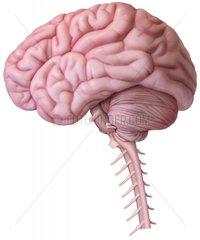 Gehirn Kleinhirn Halswirbelsaeule
