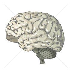 Gehirn im Querschnitt Serie Medizin