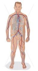Blutkreislauf Serie Medizin