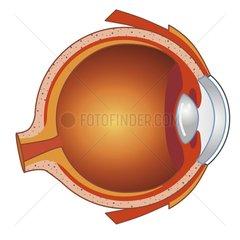 Auge Querschnitt Serie Medizin