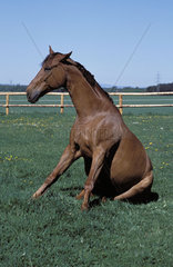 Sitzendes Pferd