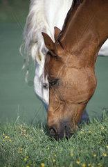 Zwei fressende Pferde