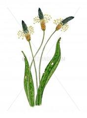 Spitzwegerich Plantago lanceolata Serie Allergie Heuschnupfen