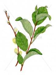 Salweide Weide Salix caprea Serie Allergie Heuschnupfen