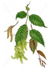Hainbuche Carpinus betulus Serie Allergie Heuschnupfen