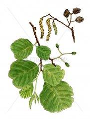 Erle Almus glutinosa Serie Allergie Heuschnupfen