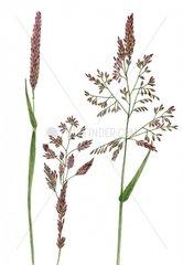Honiggras Holcus lanatus