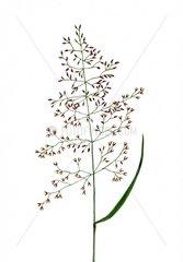 Rotes Straussgras Agrostis tenuis Serie Allergien Heuschnupfen