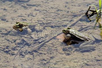 Alanya  Froesche in einem Teich
